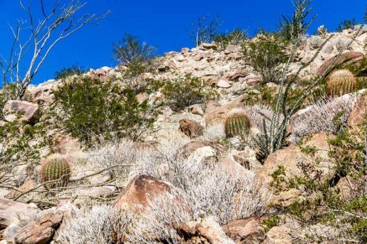 Anza Borrego State Park cactus garden In Coyote Canyon