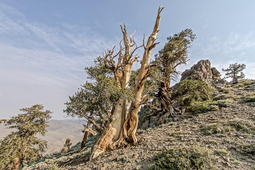 Bristlecone Sierra